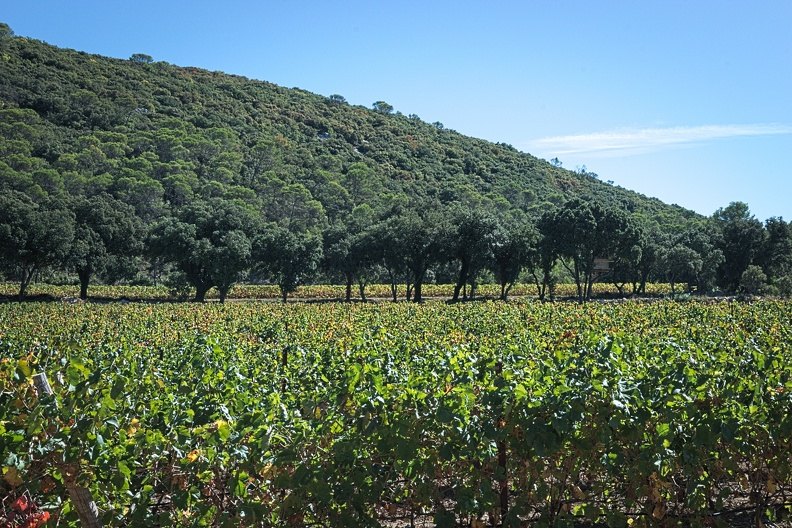 Vignes à Sainte-Croix-de-Quintillargues