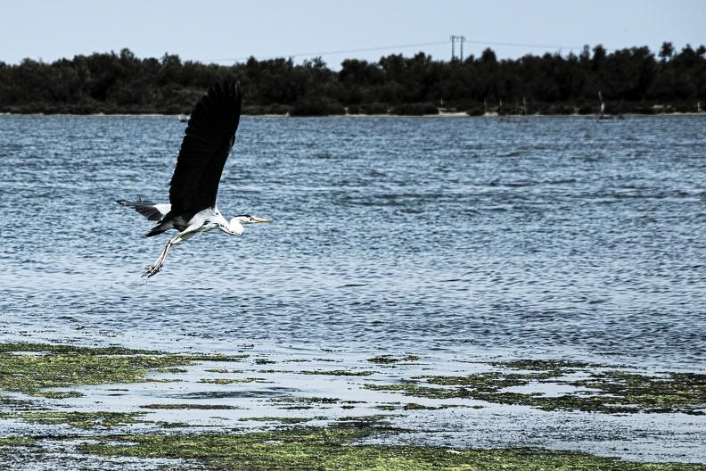 Héron Cendré en vol au dessus de l'étang du Ponant