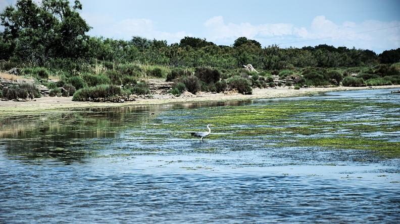 Héron Cendré (étang du Ponant)