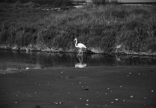 Flamant rose (monochrome)