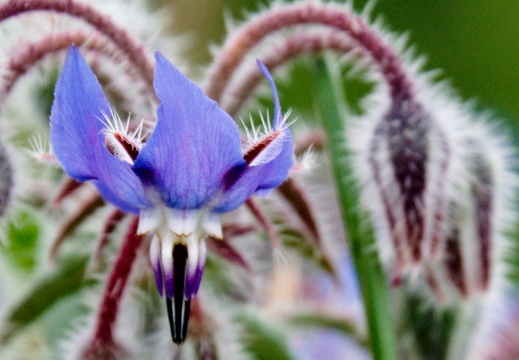 Borago officinalis L. (Bourrache)